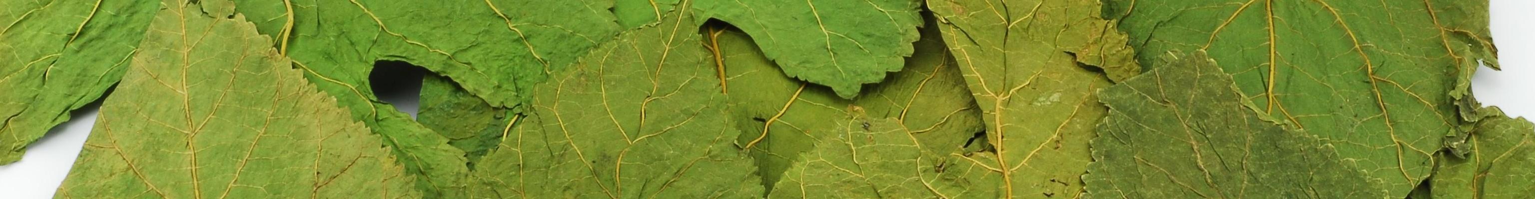 banner Maulbeerblaetter 10 große Blätter