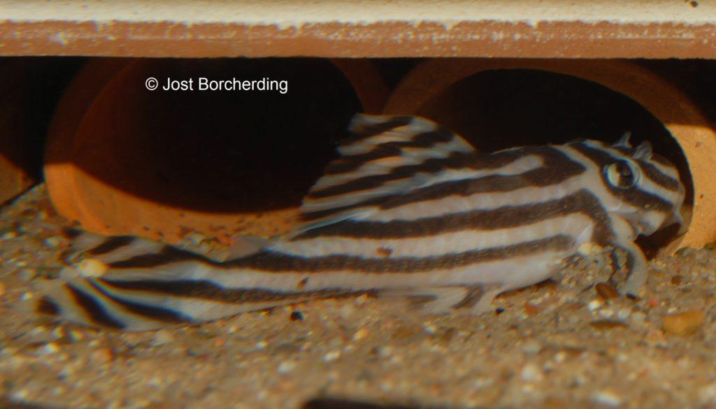 Hypancistrus zebra_1