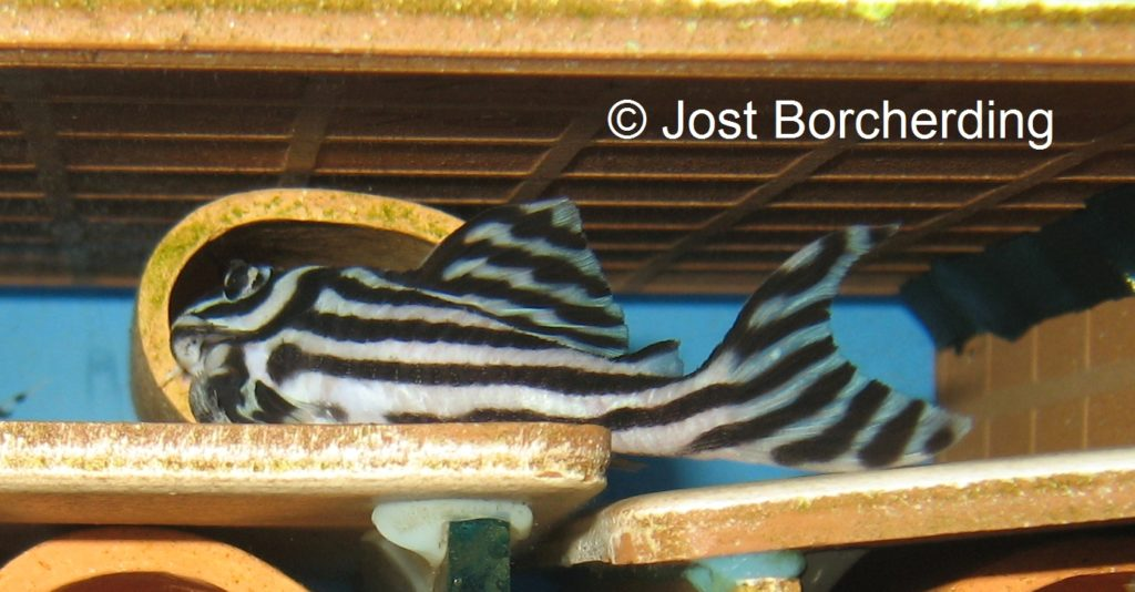 Hypancistrus zebra_2