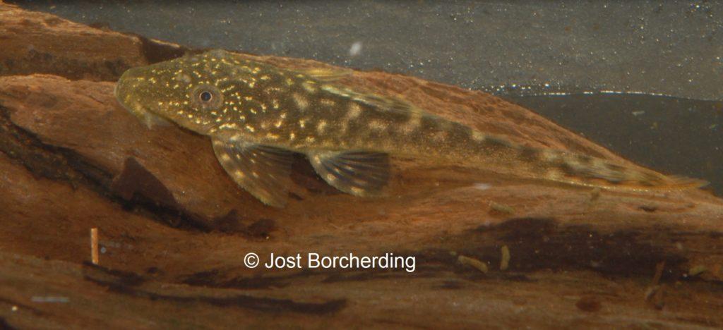Lasiancistrus tentaculatus L92 juvenil_1