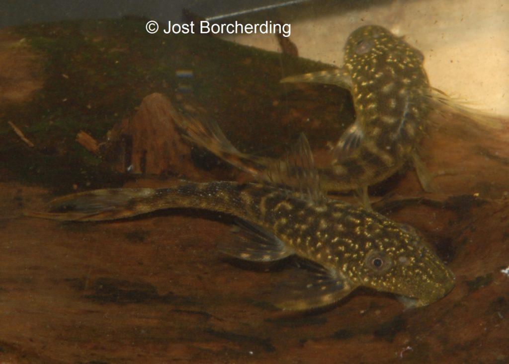 Lasiancistrus tentaculatus L92 juvenil_2