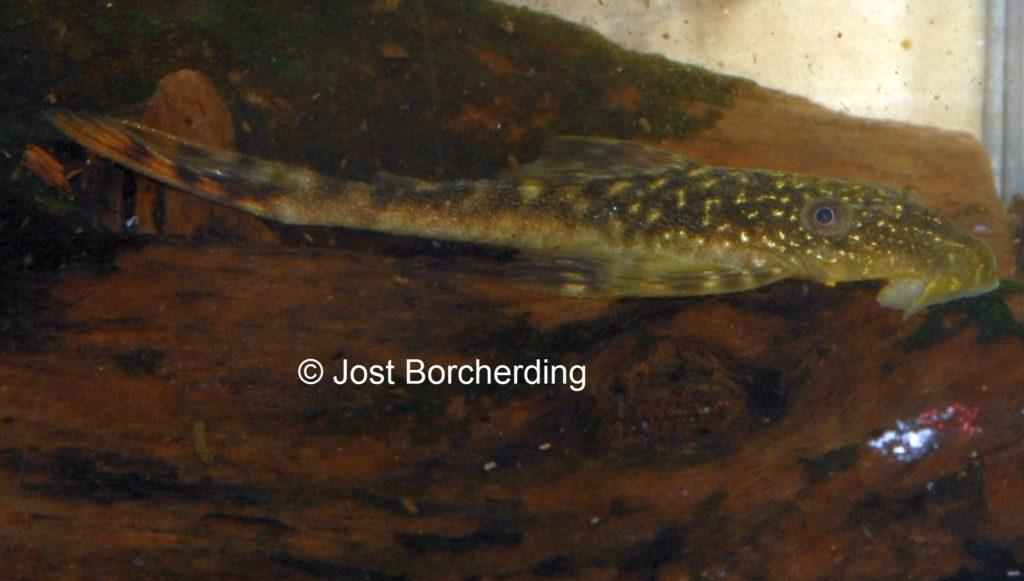Lasiancistrus tentaculatus L92 juvenil_4