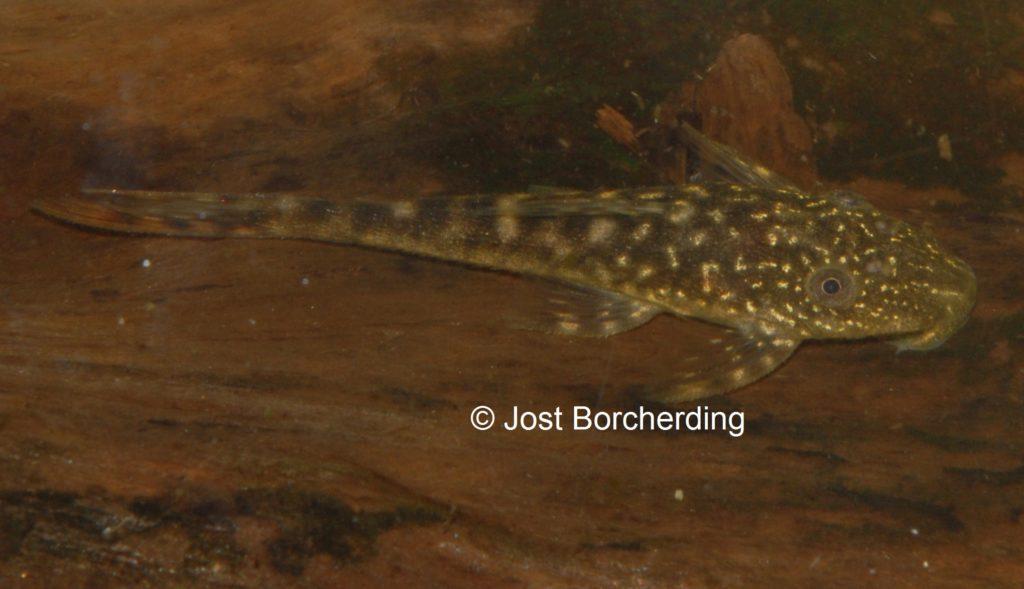 Lasiancistrus tentaculatus L92 juvenil_5