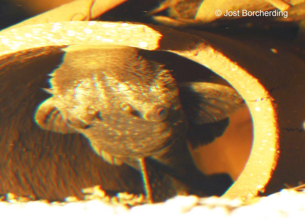 Lasiancistrus tentaculatus L92_Männchen_inBrutstellung