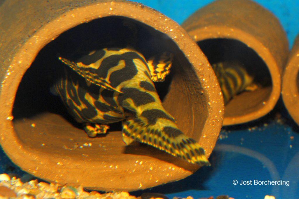 Peckoltia compta L134_1
