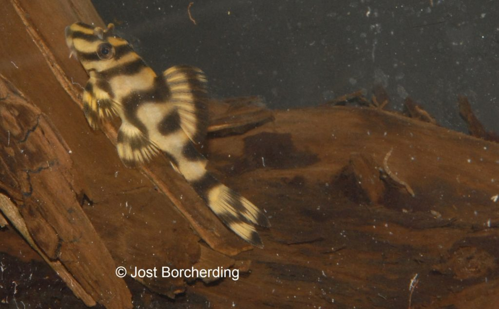 Peckoltia L15_5