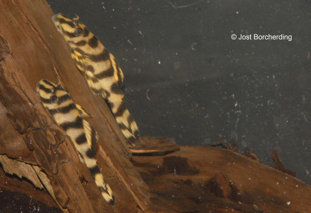 Peckoltia L15_6