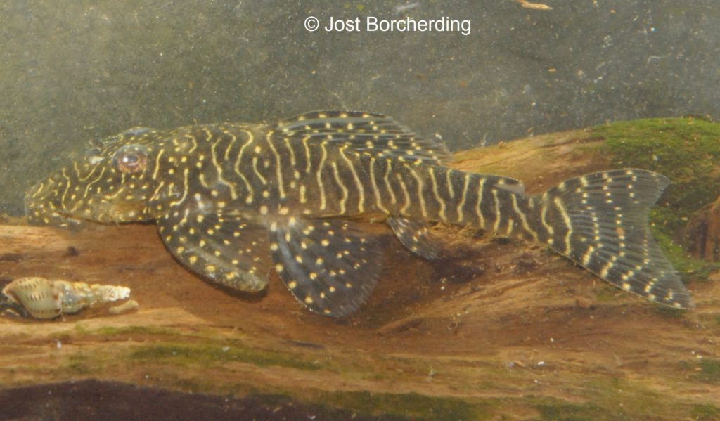 Pseudolithoxus tigris Weibchen_4