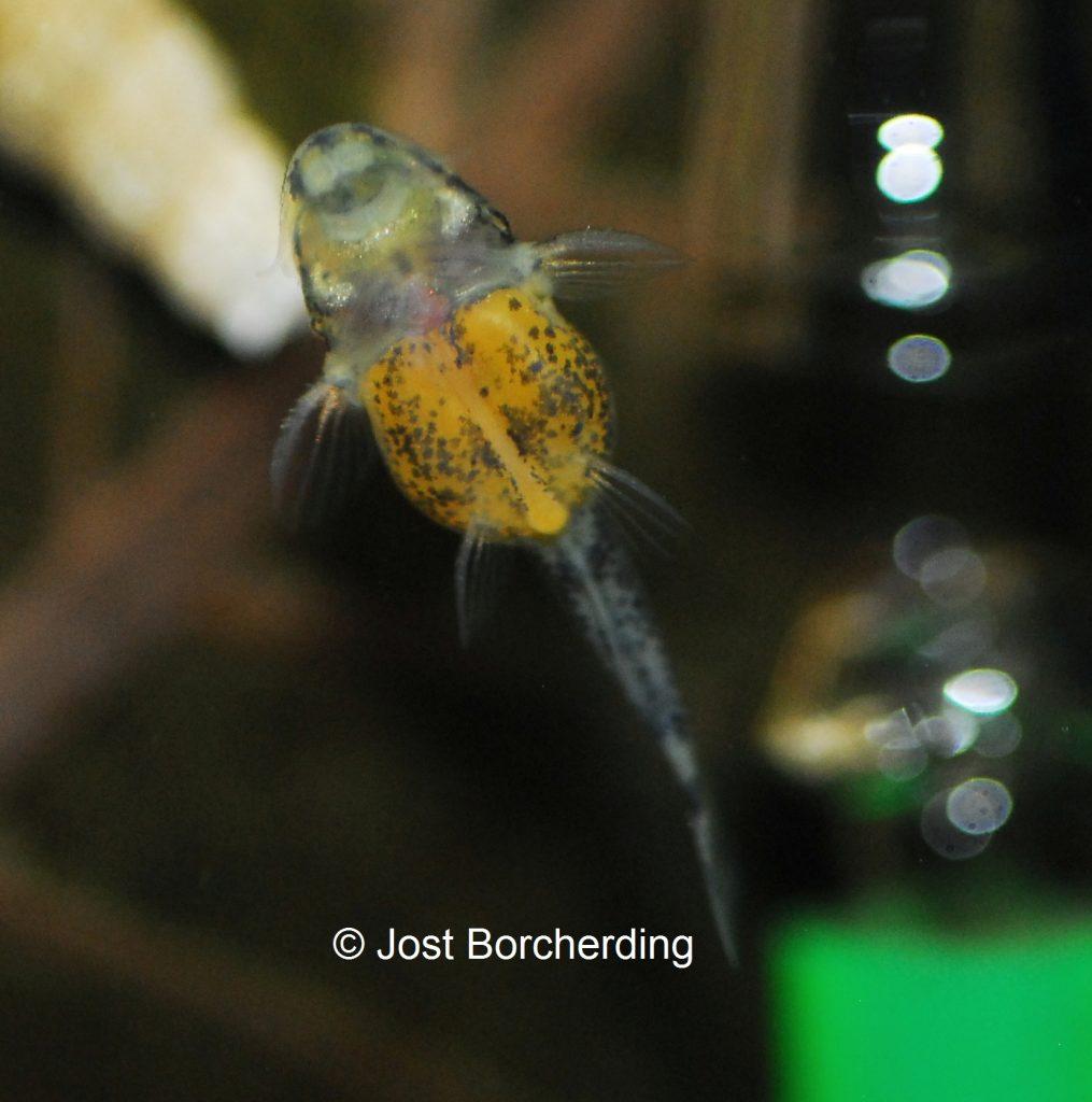 pseudolithoxus-tigris-larve_1