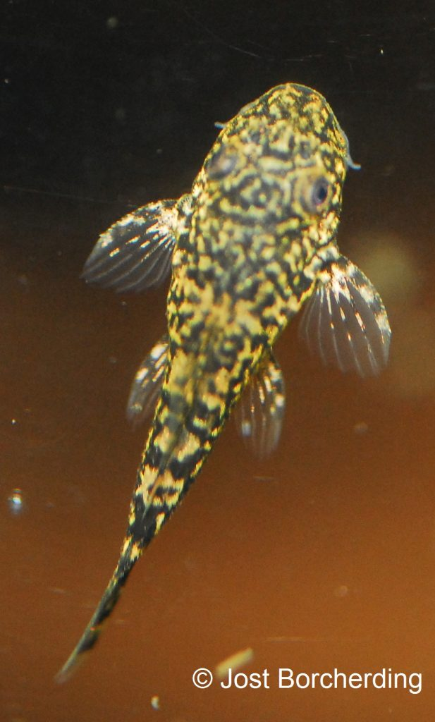pseudolithoxus-tigris-juvenil_17mm