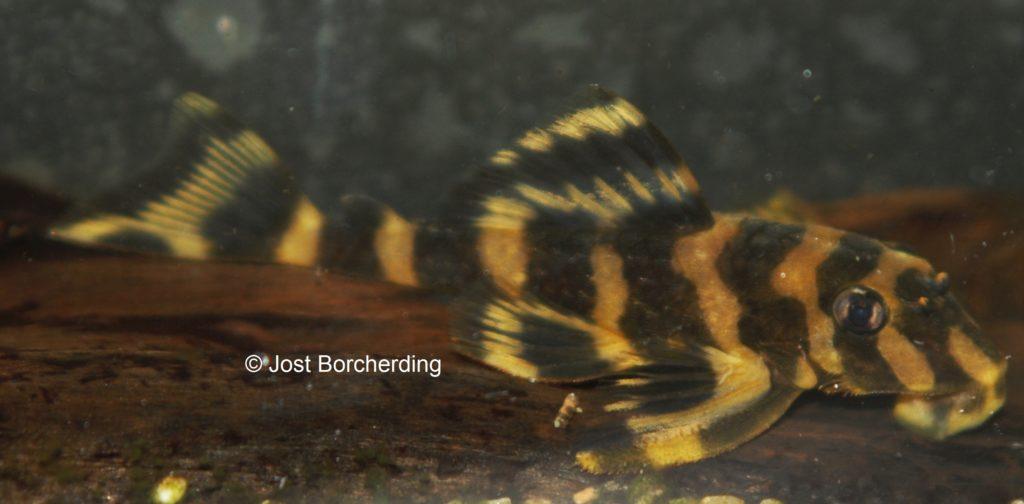 Zonancistrus Brachyurus L168 junges Männchen_2