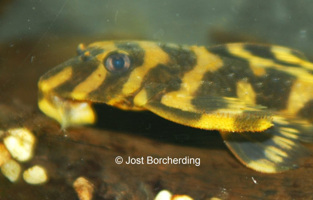 Zonancistrus Brachyurus L168 junges Männchen_6
