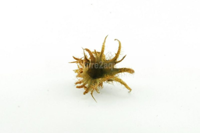 Hexennuss klein