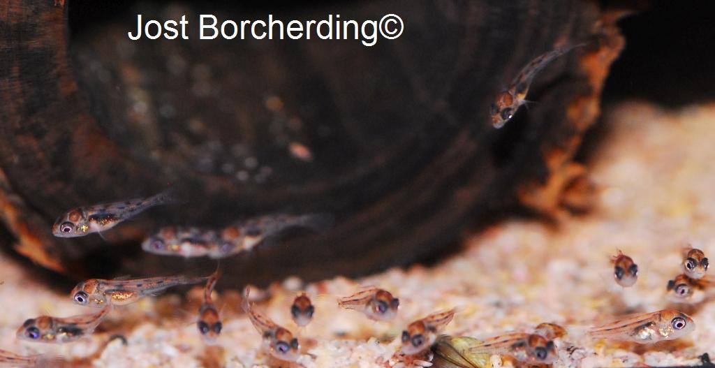Geophagus neambi Larven 3 Tage aus Maul