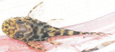 Pseudolithoxus tigris Juvenil 21_04_18