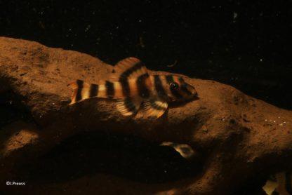 Jungfisch auf Löcherfelsen