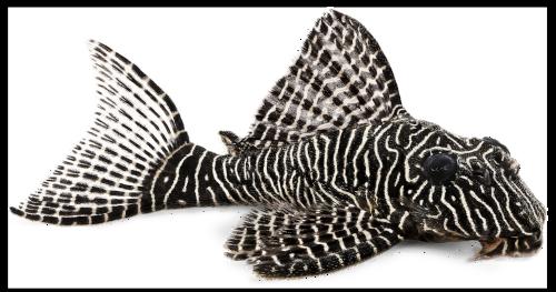 Queen Pleco Catfish L-260 Queen Arabesque Hypostomus sp Plecostomus